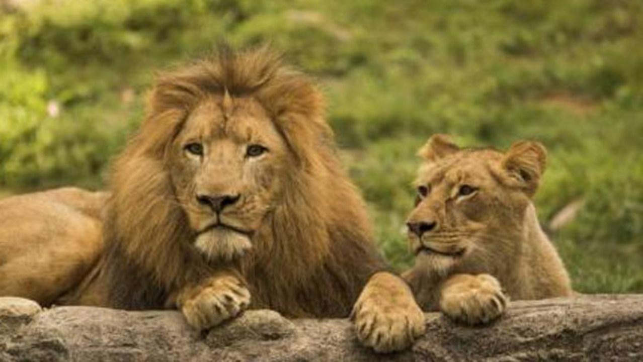 Celebrate World Lion Day at Busch Gardens