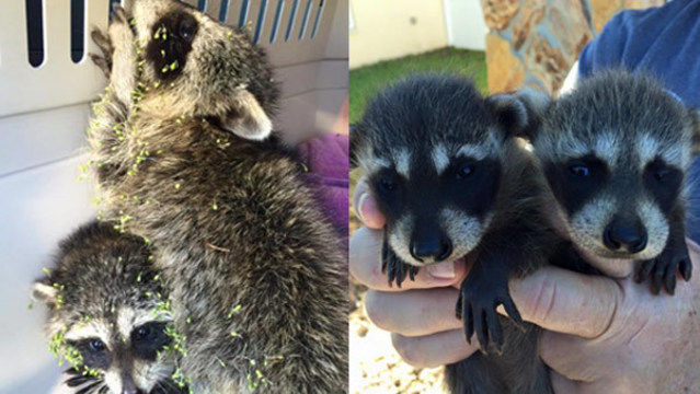Local shelter rescues 2 litters of baby raccoons