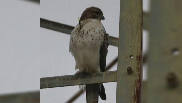Hawk shot with arrow released at Rocky Ridge Park