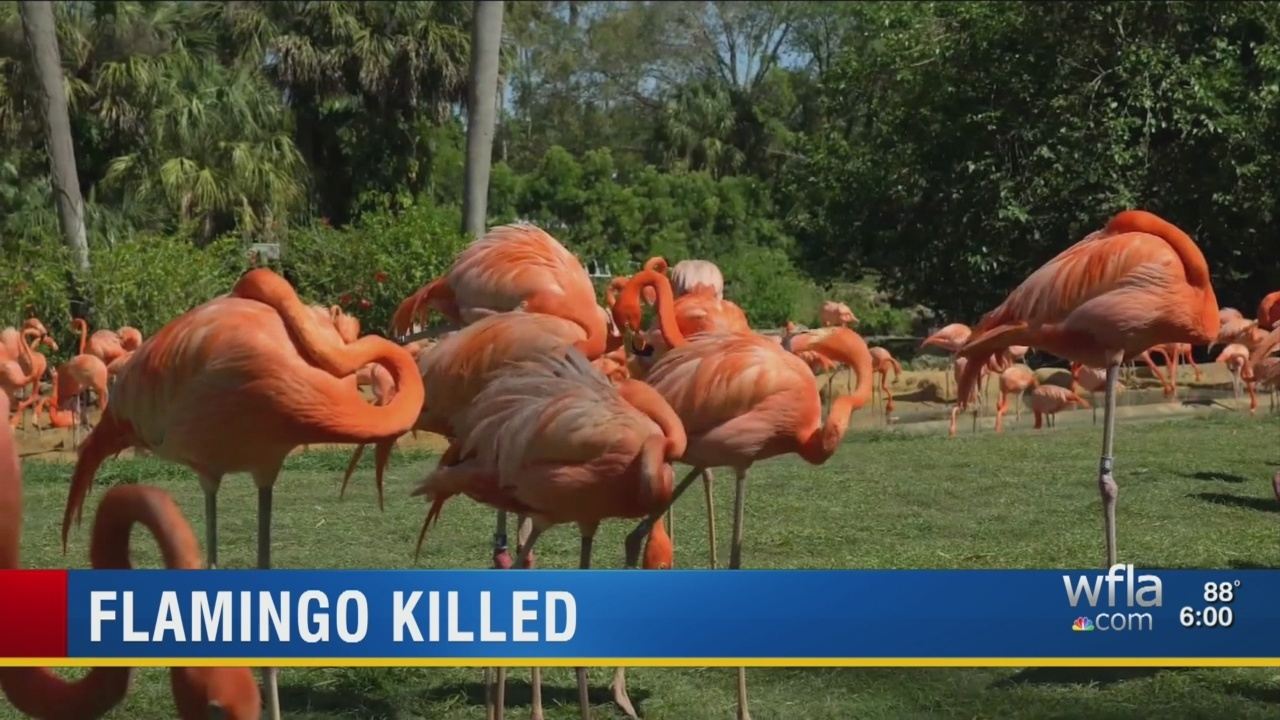 Pinky\' the flamingo dies after attack by man at Busch Gardens