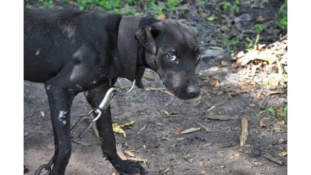 21 pit bulls removed from suspected dog fight training facility