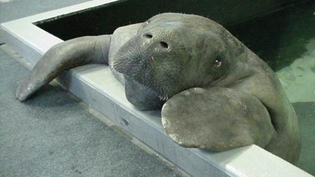 Petition calls for Confederate statue to be replaced with statue of Snooty the manatee