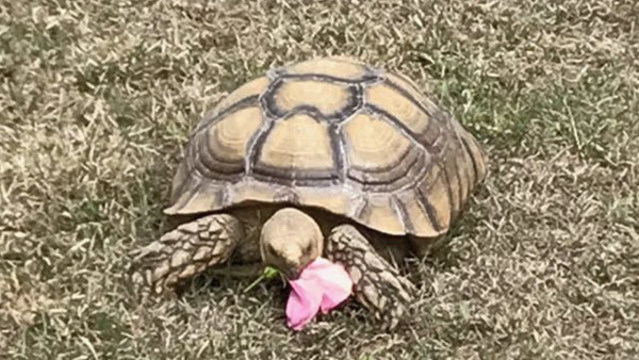 North Port police searching for missing tortoise