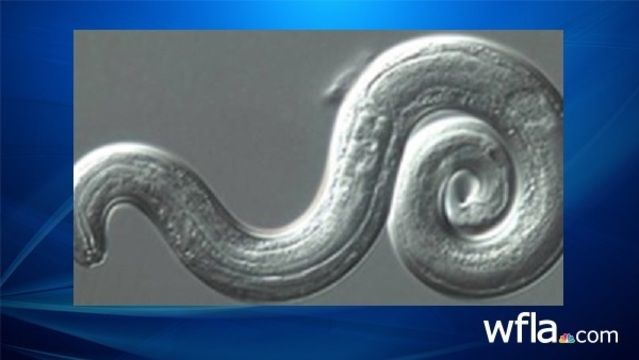 Potentially deadly rat lungworm parasite found in Hillsborough County