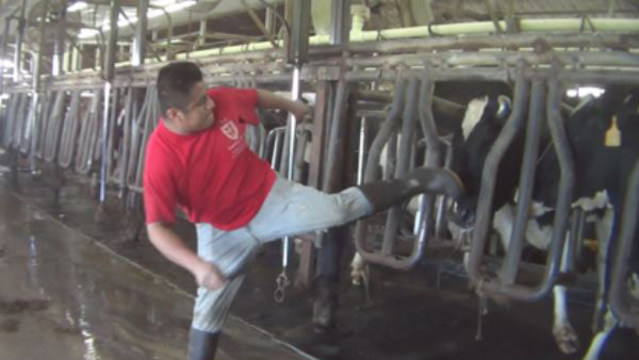 Animal rights group claims workers abuse cows at Florida dairy farm