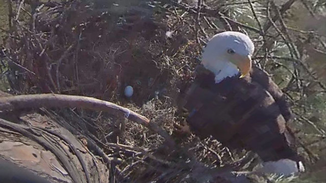 WATCH: Beloved Florida eagles Harriet, M15 incubating new egg