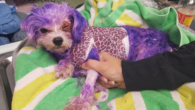 PHOTOS: Dog named Violet almost dies from burns caused by hair dye