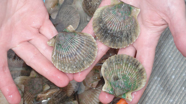 After 25-year absence, scallop season returns to Pasco County