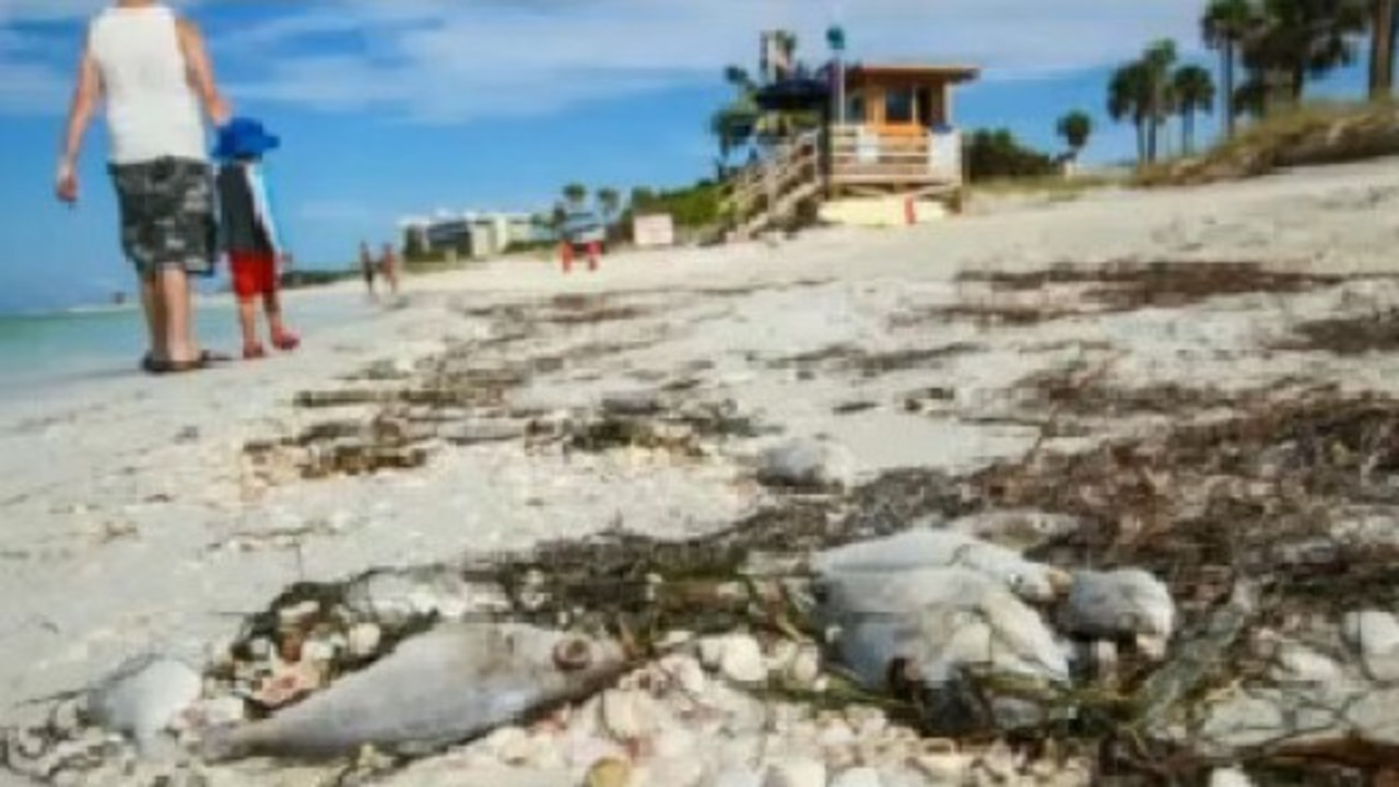 Multiple Tampa Bay Area Beaches Affected By Red Tide Bloom