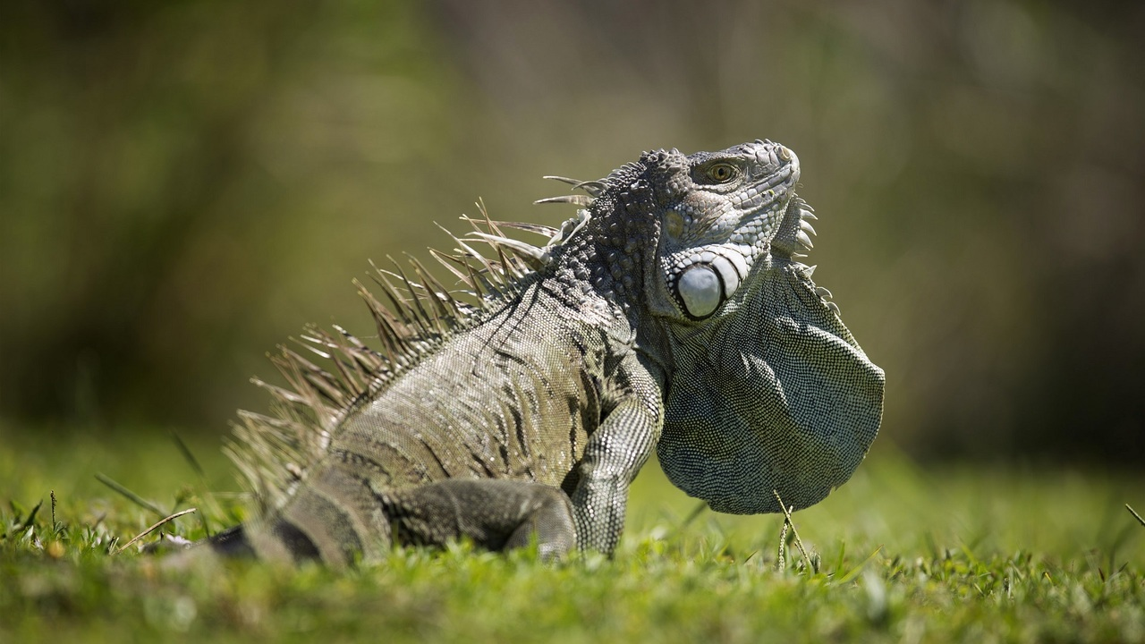 Out of control iguanas infesting South Florida