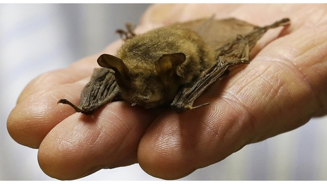 Florida official wants to use bats to reduce mosquitoes