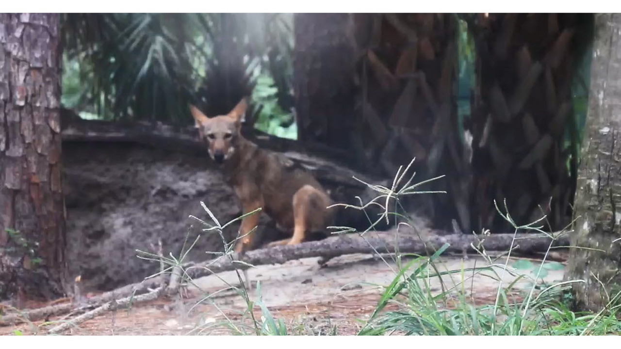 names of 4 red wolf pups born at zoo tampa announced