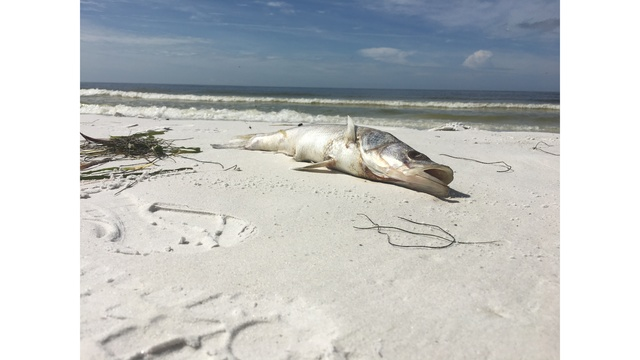 Red Tide Returns To Siesta Key Bringing Dead Fish With It