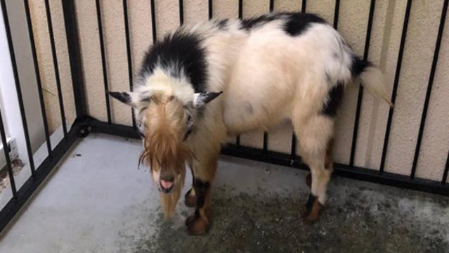 Tarpon Springs police looking for owner of lost goat