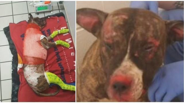 Pit bull 'Tommie' found tied to pole, set on fire, dies from injuries