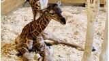 It's a boy! April the giraffe gives birth to another calf