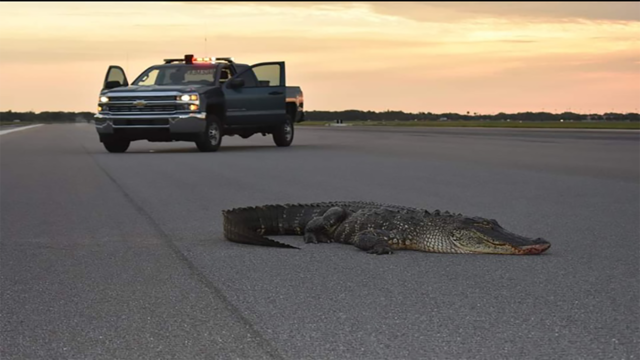 Gator found relaxing on flight line at MacDill Air Force Base