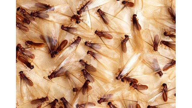 Super-termite headed for Tampa Bay, chews through concrete
